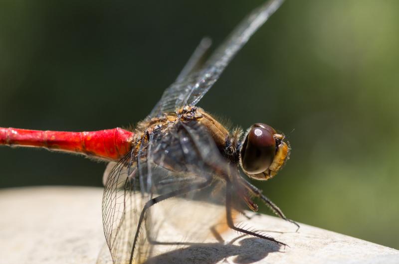 Dragonfly at Meiji Jingu, Tokyo