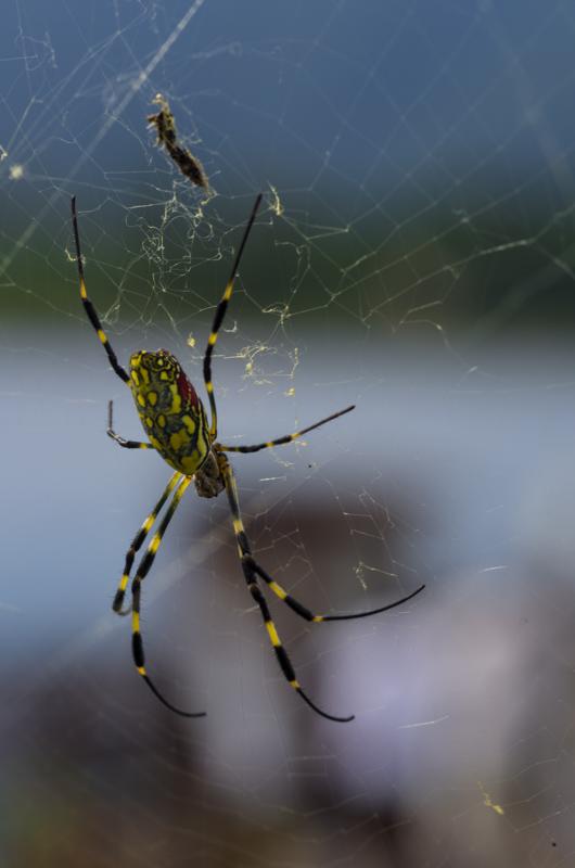 Spider, Kawaguchi-Ko