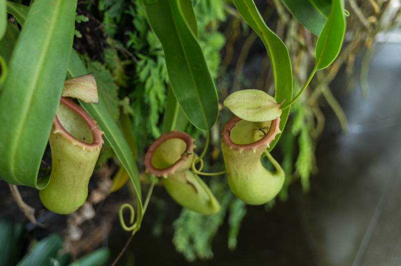 Pitcher Plant at the Flower Dome