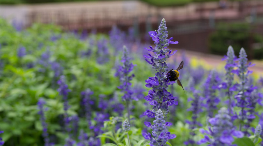 Lavender garden with a bee
