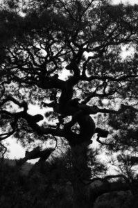 Arashiyama: Tenryuji, giant bonsai