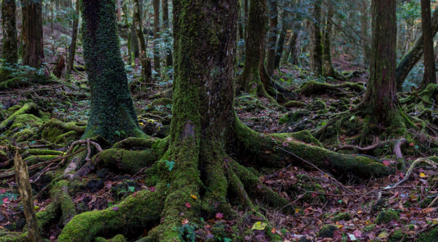 Mount Fuji: Aokigahara forest