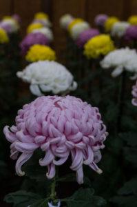 Shinjuku Gyoen: Chrysanthemums