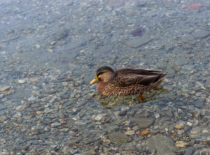 Queenstown: Duck in the Lake