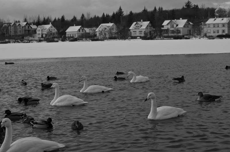Ducks, Mallards, Geese, and Swans in Reykjavik