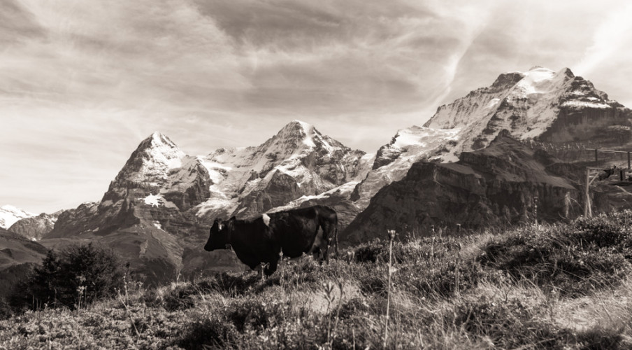 Obligatory cow and the Swiss Alps
