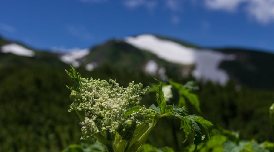 Alpine flora, Murodo