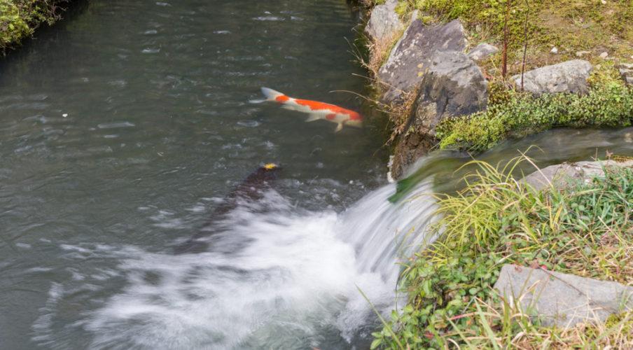 Arashiyama: Tenryuji, big fish in the pond