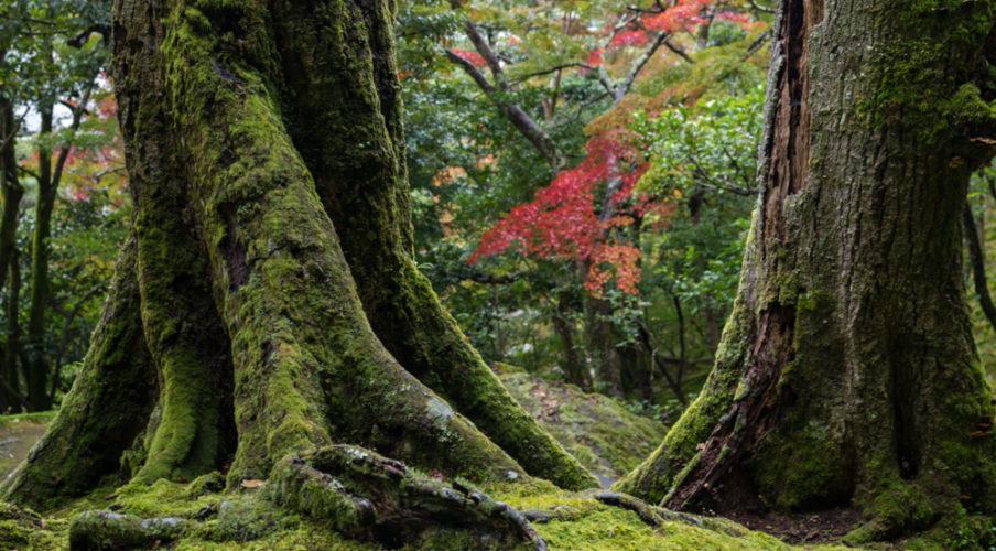 Ginkaku-ji: Moss trees
